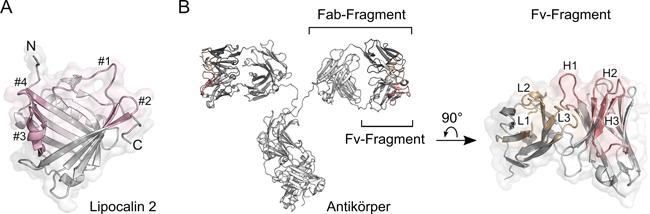 Anticalin-Proteine als neue Wirkstoffklasse / Für therapeutische Anwendungen / Beitrag aus Pharm. Ind. 82, Nr. 2, 283-289 (2020)